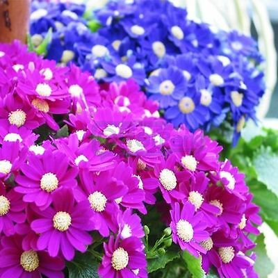Cineraria Multiflora Dwarf Mix Seeds Shade Loving Winter/Spring Flower 5 Colours