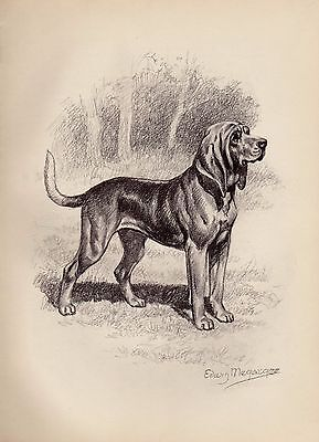 Vintage BLOODHOUND Dog Print  Beautiful 1950s Gallery Wall Art Megargee Art 1541