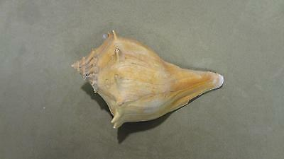 """Large Pink Queen Conch Sea Shell orange beige interior collectible 7"""" long ocean"""