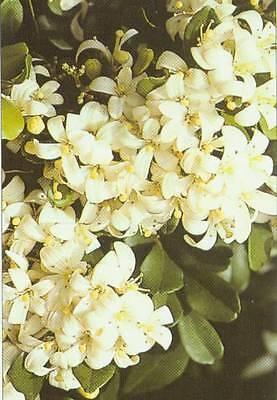 Orange Jessamine Seeds Popular  3m Dense Scented Hedge or Accent Plant