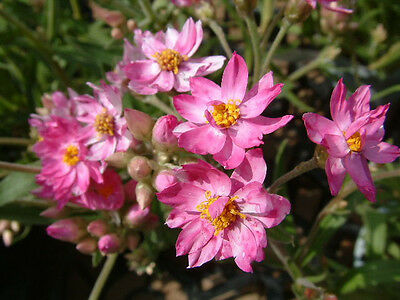 Pink Cluster Everlasting Seed Native Annual Wildflower Frost & Drought Tolerant