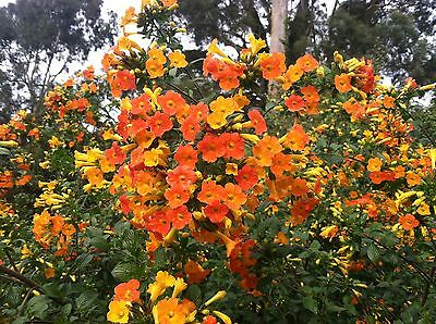 Streptosolen jamesonii | Marmalade Bush 10 seeds