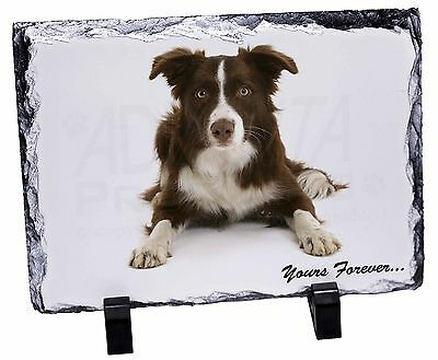 """Liver and White Border Collie """"Yours Forever..."""" Photo Slate Christm, AD-CO81ySL"""