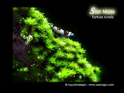Star Moss-Live fish tank aquarium plant fern java M9