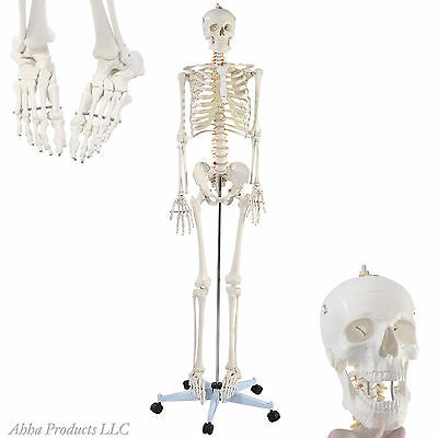 Life Size Human Skeleton Anatomy Skeletal System Classroom Display Model Set Kit