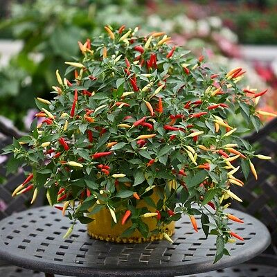 Kings Seeds - Pepper (Chilli) Basket Of Fire - 10 Seeds