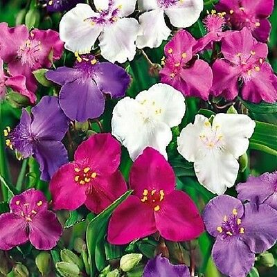 Spiderwort Shimmer Mix Seeds Easy To Grow Ground Cover 3 Colours Cold Tolerant