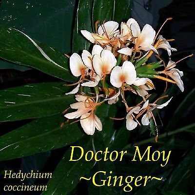~Doctor Moy Ginger~ Variegated Hedychium Hybrid LIVE Potted PLANT