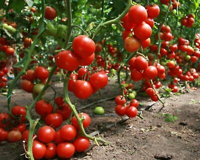 Seeds Red Tomato Dzhina Gene Organically Grown Russian Heirloom Vegetable