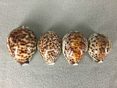 4 Large Tiger Cowrie Cowry Sea Shells