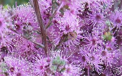 Violet Kunzea Seed Hardy Small Evergreen Native Shrub Drought & Frost Tolerant