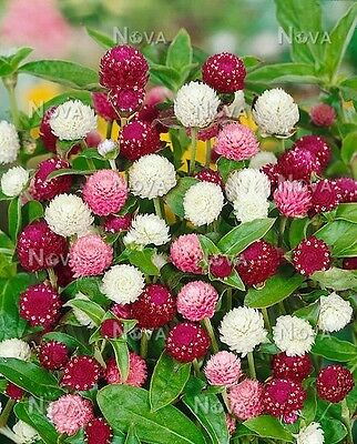 Gomphrena Buddy Mix Seed Annual 3 Colours Water Wise Hot Dry Tolerant Popular