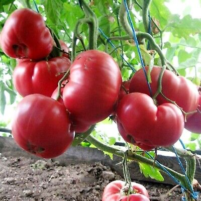 Rare Giant Tomato Pink Honey Seeds Siberian Heirloom Vegetable NON GMO