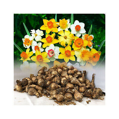 25Kg Mixed Daffodil/narcissus Bulbs From Our Best Varieties Great Value Spring