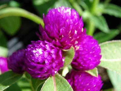 Globe Amaranth Tall Purple Seeds Annual Drought Tolerant Showy Gomphrena globosa