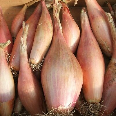 Kings Seeds - Shallot Sets Zebrune  - 150 Seeds