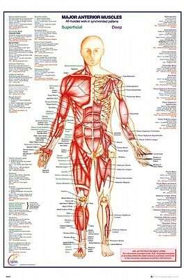 Anatomie - Major Anterior Muscles, The Human-body Poster Plakat (91x61cm) #97859
