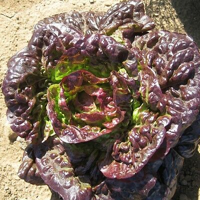 Kings Seeds - Lettuce Pigale Pills - 50 Seeds
