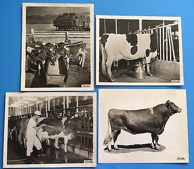 "*Original* Lot of 4 ADOHR FARMS DAIRY 8"" x 10""  Photographs COWS Milking CATTLE"