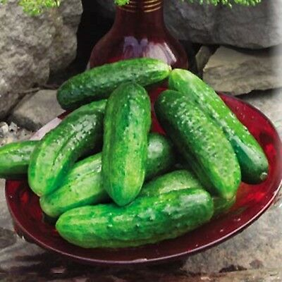 Seeds Cucumber Khella F1 Organic Russian Heirloom Hybrid Variety