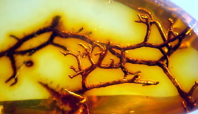 Fossil Plant - Roots??? - In Baltic Amber 45-55 Millions Years Old(2813)
