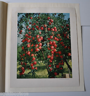 APPLE TREE vintage PRINT/PHOTO 1953 from BC Tree Fruits CANADA British Columbia
