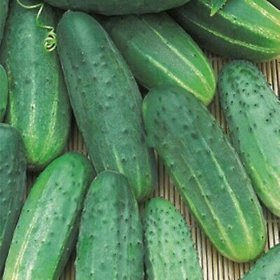 Seeds Cucumber Nadezhnyy Organically Grown Russian Heirloom Variety NON-GMO