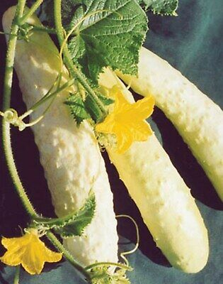 Seeds Cucumber Belyy Delikates White Delicacy Chinese Heirloom NON GMO