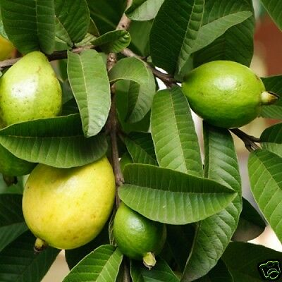 Yellow Guava Seed Edible Fruit Tropical Evergreen Small Tree