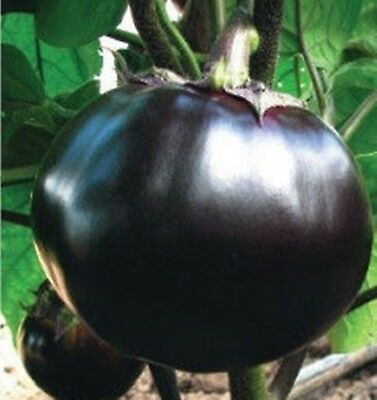 Seeds Eggplant Bourgeois F1 Giant Round Early Hybrid Variety