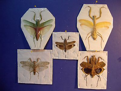 Praying Mantis Collection 5 Species Wholesale Lot  Great Display