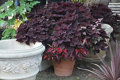 Coleus Ball Dark Mix Seed Annual Mixed Dark Colours Shade Loving