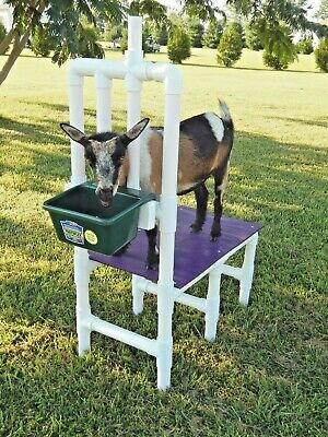 Nigerian Dwarf Goat Milk Stand Shearing Clipping Grooming Milking Pygmy Sheep