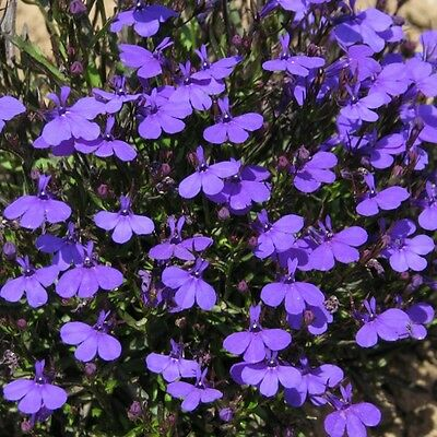 Lobelia Crystal Palace Seed Annual Good for Baskets Pots Edges Low Growing