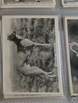 #47Coursing '35 dee rock grey hound racin cigarete card