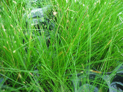 15 x Eleocharis acicularis Dwarf Hairgrass carpet live aquarium Plants moss