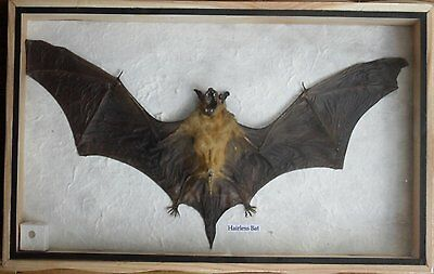 REAL HAIRLESS BAT Insect Taxidermy in wood box Brand New!