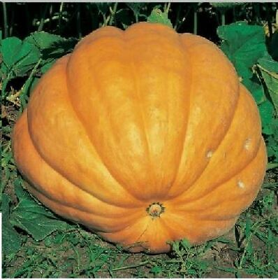 Vegetable - Kings Seeds - Picture Packet Pumpkin Dills Atlantic Giant - 10 Seeds