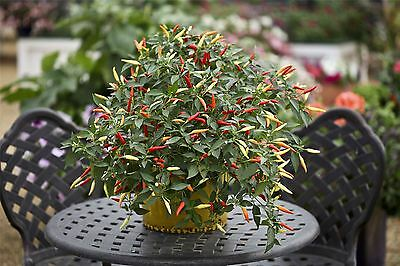 Vegetable - Kings Seeds Picture Packet Chilli Pepper Basket of Fire F1 10 Seeds