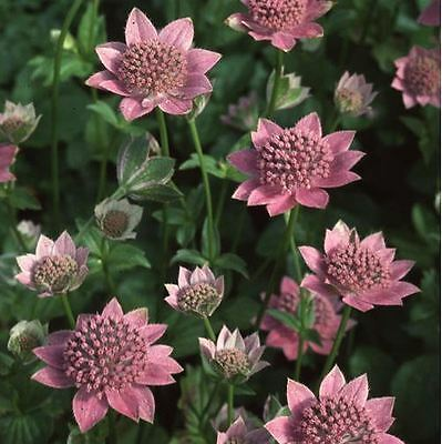 Flower - Astrantia maxima - 50 Seeds
