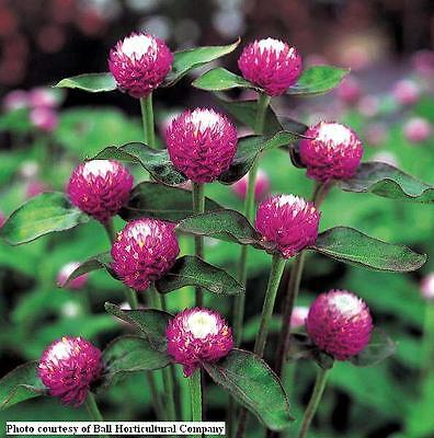 Globe Amaranth Audray Bicolor Rose Seed Cut or Dried Flower Bright Colour Annual
