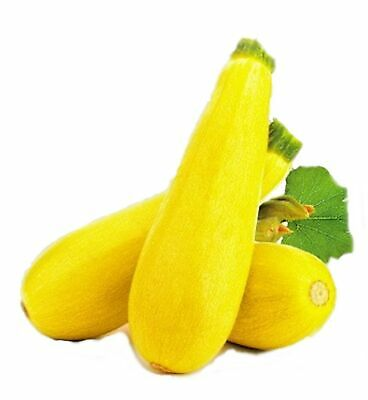 Squash Zucchini Zolotinka Golden Seeds Russian Heirloom NON GMO