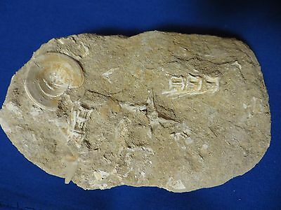 Several Vertebrate Dinosaur Fossils in Matrix North Africa 6 Inch Free Shipping!
