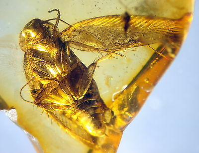 Fossil Cockroach In Baltic Amber 45-55 Millions Years Old(5997 )