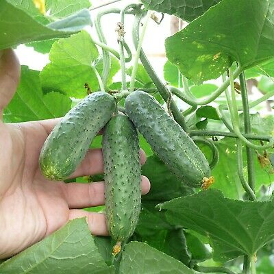 Cucumber Kechkemet Seeds Organic Hungarian Pickling Heirloom Variety