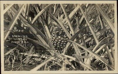 Growing Pineapples in Puerto Porto Rico c1910 Real Photo Postcard