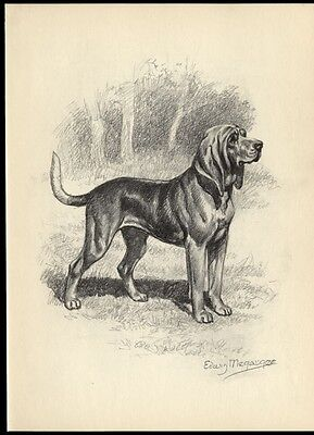 Bloodhound: after Painting by Edwin Megargee: Authentic 1953 Book Illustration