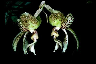 ORCHID - Stanhopea Costaricensis  - SPECIES - UPSIDE DOWN ORCHID