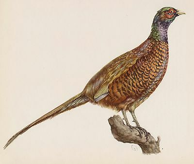 Lovely Common PHEASANT Print BIRD Illustration Vintage Bird Art Print 1842