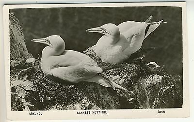 A Frith's Real Photo Bird Post Card of Gannets Nesting.